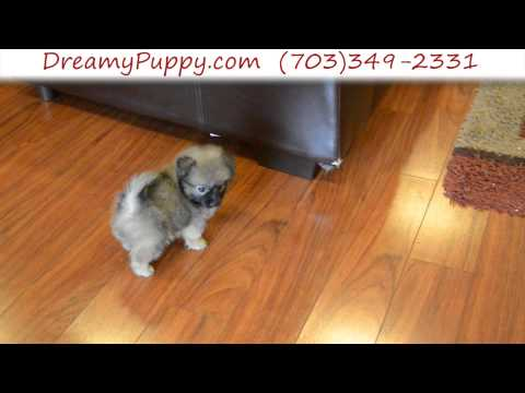 Super Cute Teacup Pomchi Female Puppy