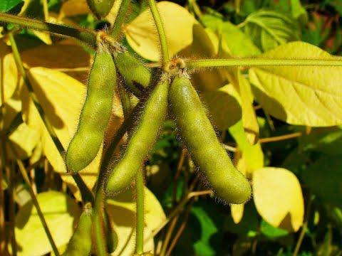 Gələcəyin sənaye bitkisi: dünyada ən çox əkilən dənli-paxlalı