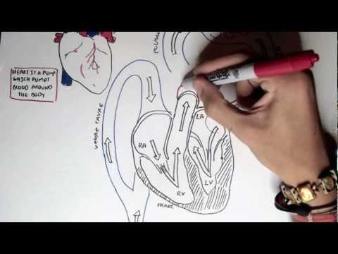 Kardiologia - fizjologia serca I (kardiomiocyt i potencjał błonowy)