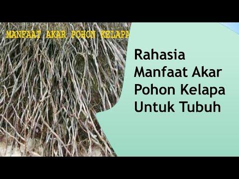 Video Rahasia Manfaat Akar  Pohon Kelapa untuk Tubuh