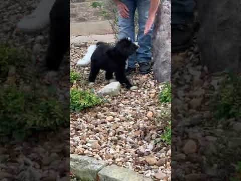 Ooh lala LOLA bernedoodle bear puppy
