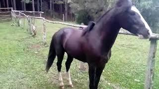 Cavalo Campeiro-Piruá