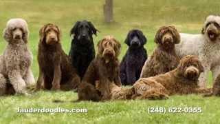 Labradoodle Dog Breeder - Northwest Ohio Dog Ranch