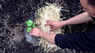 Секреты высадки арбузов / Выращивание арбузов / Как правильно высадить арбуз