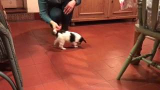 How to train a 6 week old puppy to sit in 1 minute 30 seconds. Meet Willow a very clever puppy