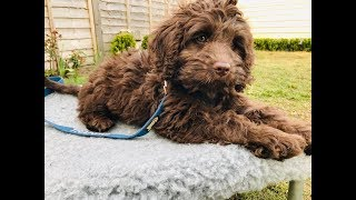 Rolo - 10 Week Old Australian Labradoodle - 6 Weeks Training & Socialisation