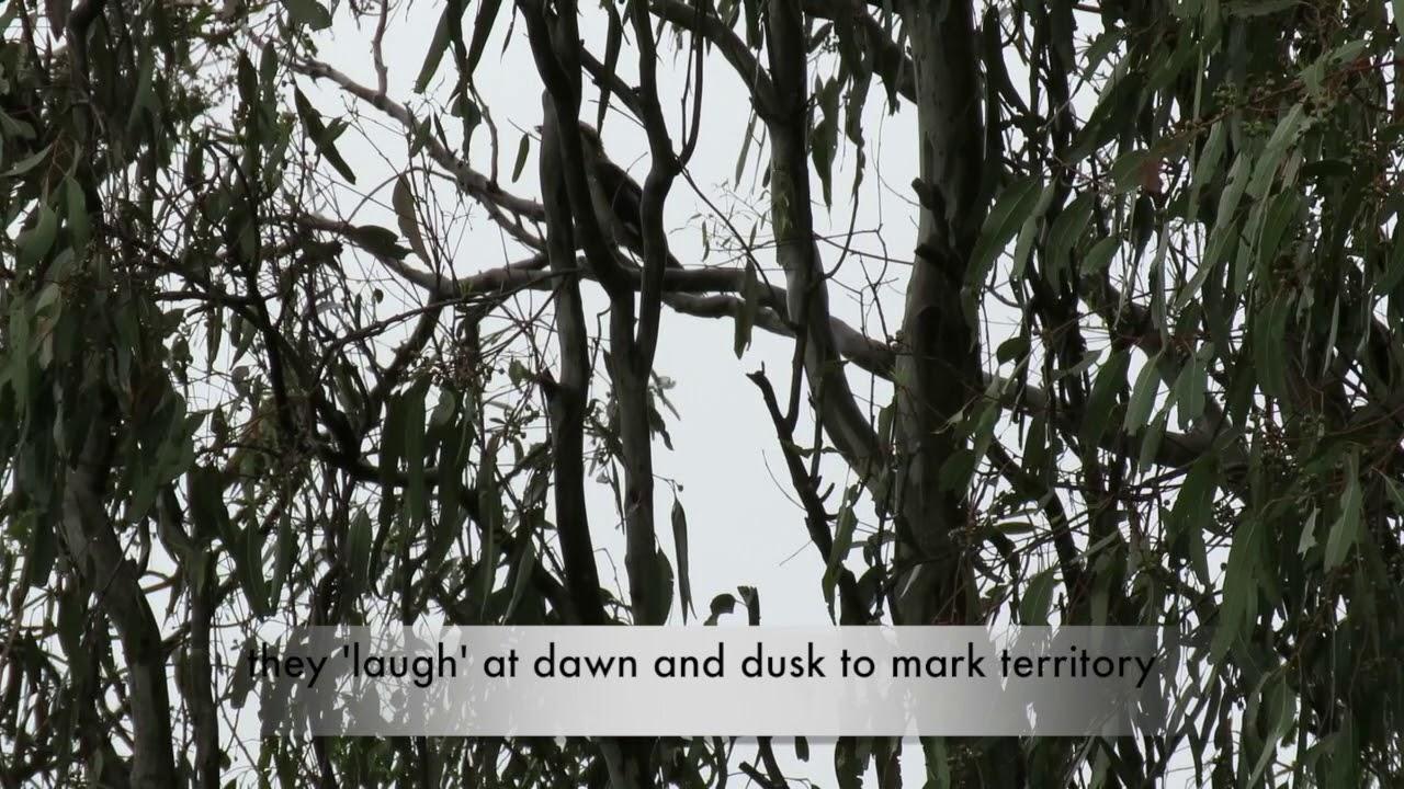 Kookaburras indeed laugh