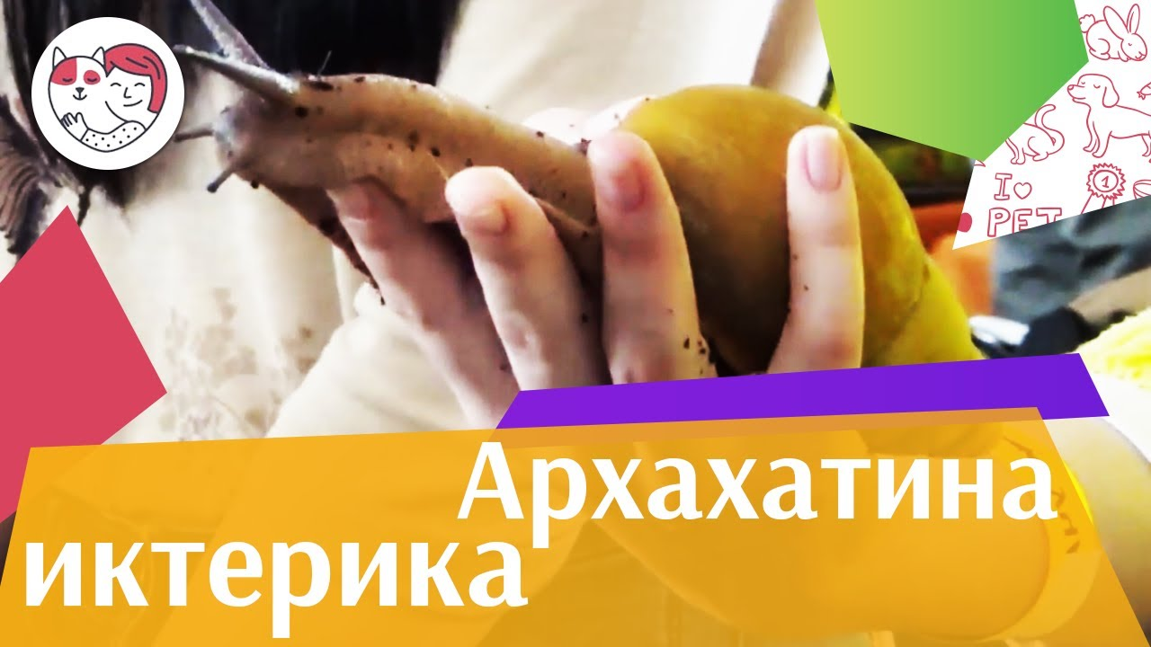 Архахатина иктерика на ilikepet. Особенности породы, уход