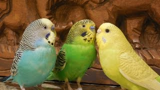 10 Hours Budgies Chirping Parakeets Sounds Reduce stress blood pressure heart disorder hypertension