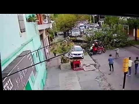 Videos: dos árboles se desplomaron en calles de La Plata y no ocurrió una tragedia de milagro