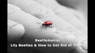 Get Gardening: Beetlemania (Lily Beetles & How To Get Rid Of Them!)