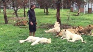 Тигр защитил человека от нападения леопарда