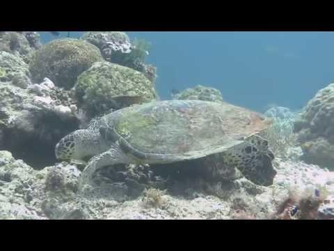 Schildkröten, Sogod Bay,Philippinen