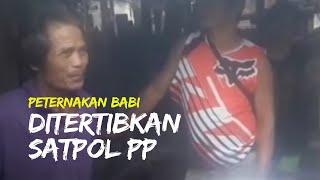 Peternakan Babi di Makassar Ditertipkan Satpol PP, Sempat Terjadi Adu Argumen