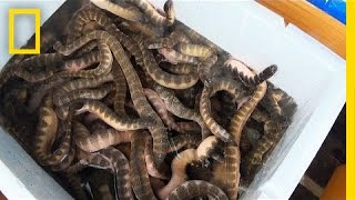 Is Eating Venomous Sea Snakes a Bad Thing?