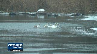 В Мигее поселилась стая лебедей — активисты оберегают птиц. ВИДЕО