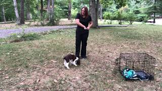 Blake - 3 Weeks Of Training - 12 Week Old English Springer Spaniel