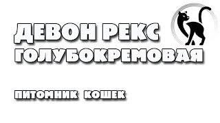 Голубокремовая кошечка Девон рекс