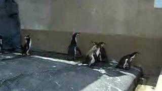 Пингвины ловят НЛО