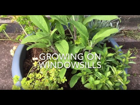 Growing vegetables on windowsills