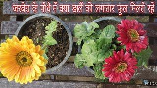 How To Care Gerbera Plant For Maximum Flowering