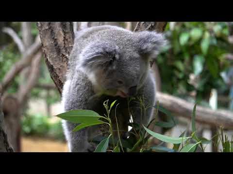 【東山動植物園公式】インディコのもぐもぐからのあくび