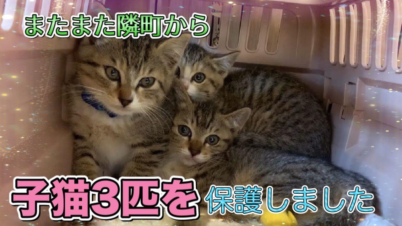 隣市からまたまた子猫!生後約2ヶ月半の子猫3匹を保護しました【We rescued the six weeks old 3 kittens】