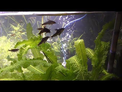 Corydoras Barbatus Eggs & Japanese Rice Fish Eggs! Fish Room Update 37