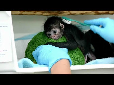Baby spider monkey receives care in Colombia