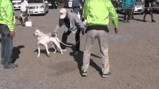 日本犬保存会紀州犬