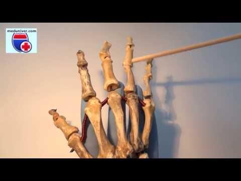 Анатомия костей кисти (manus) - meduniver.com