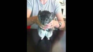 Chinchilla dancing to Michael Jackson