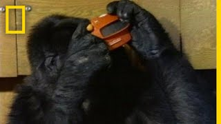Watch Koko the Gorilla Use Sign Language in This 1981 Film   National Geographic thumbnail