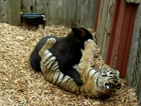 animal face off bear vs tiger full episode