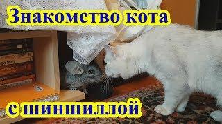Знакомство кота Афанасия с шиншиллой Марсиком