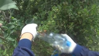 Как собирать крыжовник