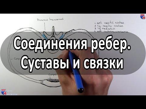 Анатомия суставов и связок ребер - meduniver.com
