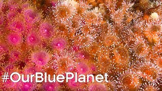 Protecting Scotland's Coral Reefs #OurBluePlanet - BBC Earth