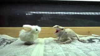 Baby Bunny VS Dragon