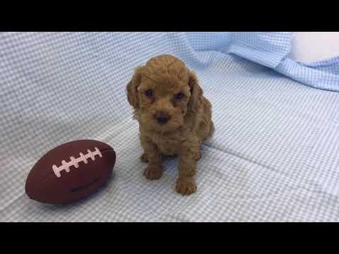Alex red boy toy poodle