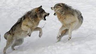 Gray Wolf - Territory