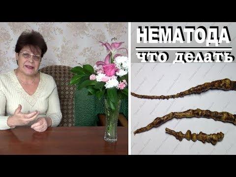 Галловая нематода на корнях растений .  Избавиться очень трудно. Что можно сделать.