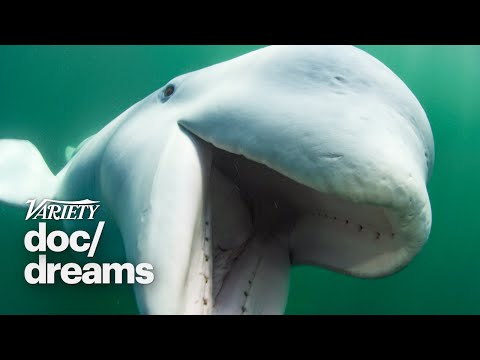'Secrets of the Whales' Director Brian Armstrong on How a Beluga Pod Adopted a Lost Narwhal