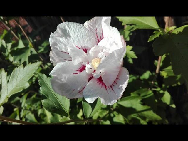HIBISKUS OGRODOWY biały ''CHINA CHIFFON''