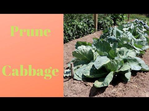 , title : 'Pruning cabbage leaves in a Mittleider garden