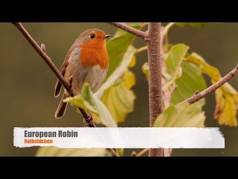 European Robin (Erithacus rubecula) / Rotkehlchen [27]