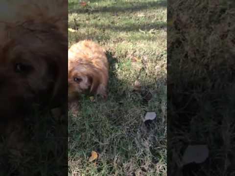 Female Cava Poo puppy for sale!!