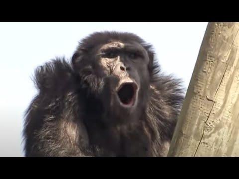 Chimp Politics - Chimp TV - BBC