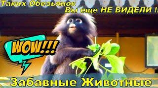 Очковые лангуры - просто разновидность  обезьян, которые обитают всего в трех  странах на планете. Среди них и  Малайзия.Не трудно догадаться откуда  взялось это название) Лангуры относятся к отряду макак, но  совсем на них не