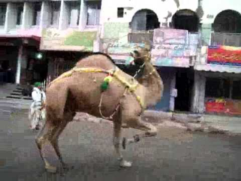 Camel Dance from Asad Sheikh (8 nov 2011)